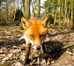Environmental Assessment - Fox in Woodland